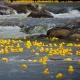 Rubber ducks in the Blue River